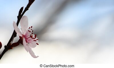 Plum blossom - Very beautiful flower of japanese plum