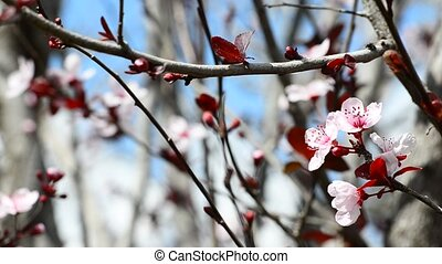 Spring flowers of plum tree