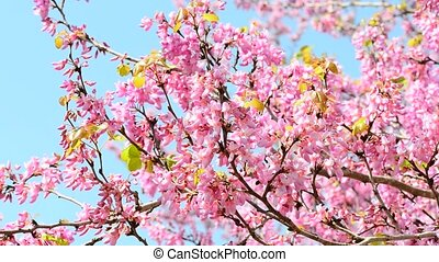 Pink tree - Judas tree is a small deciduous tree