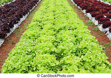 Fresh and tasty salad and lettuce plantation