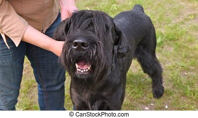 Riesenschnauzer stands with owner on lawn with green grass