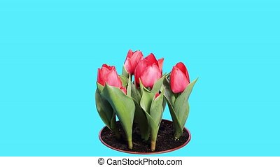 Blooming red tulips
