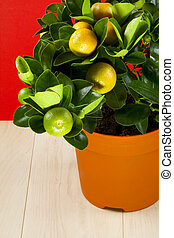 Calamondin - Citrus calamondin with ripening fruits, red...