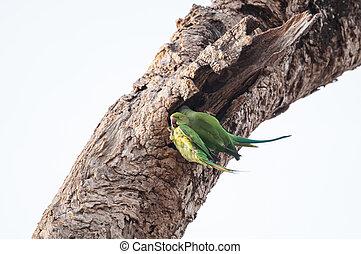 dois, verde, papagaios, Entrar, seu, ninho