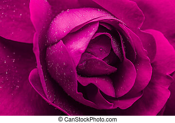 Pink Wet Rose - Macro Photo Of A Wet Pink Rose With Small...