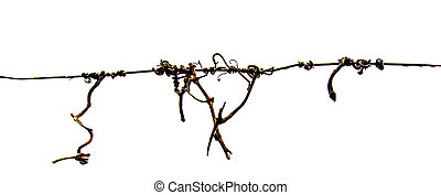 Old Vine Roots - Old vine roots entangled on a wire