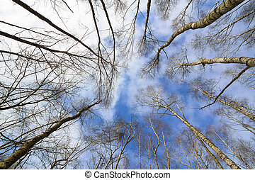 Leafless tree crowns with a cloudy blue sky
