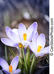 Bee on spring crocuses - Pollen covered bee sitting on...