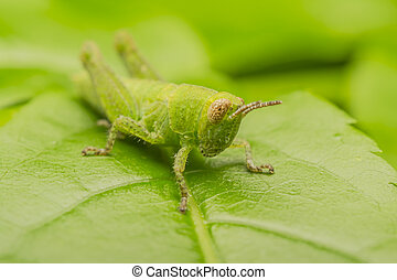 Green Cricket - Macro Photo Of A Green Camouflaged Cricket...