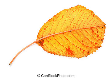 yellow dry fall leaf against white background, gentle...