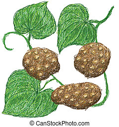 air potato - illustration of air potato attatched in vine...
