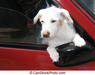 Cute white dog leaning out of car window