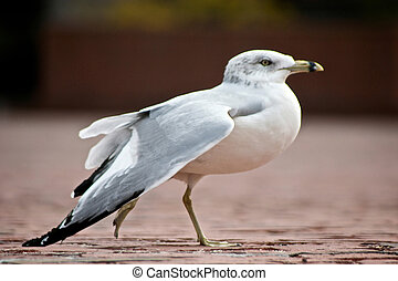 dancing ringbilled gull - beautiful specimen of a ring...