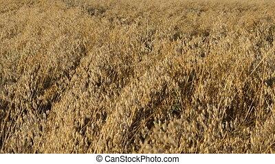 closeup oat field autumn - closeup ripe agricultural oat...