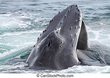 Humpback whale - A humpback whale comming up to breath