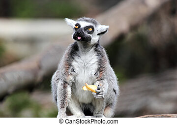 Ring-tailed lemur Lemur catta eating a fruit - A ring-tailed...