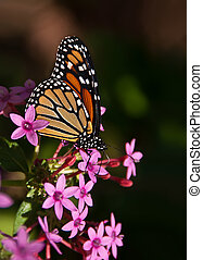 Monarch butterfly, Danaus plexippus - Monarch butterfly...