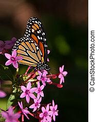 Monarch butterfly, Danaus plexippus - Monarch butterfly...