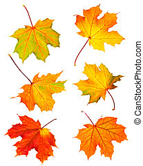 Fall maple leaves - Several fall maple leaves isolated on...