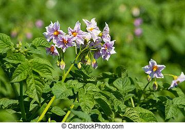 Blossoms of potato