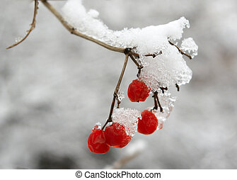 rowanberry - Red berries of a mountain ash are covered with...