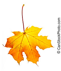 Fall maple leaf - One fall maple leaf isolated on white...