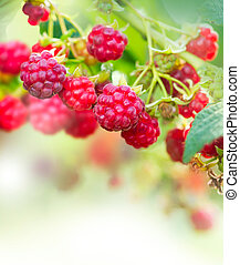 Raspberry Growing Organic Berries Art Design
