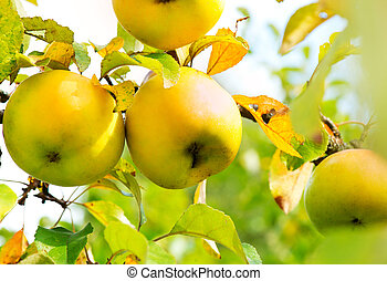 Apples on a Branch. Growing Organic Apple