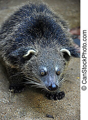 binturong - The binturong is nocturnal and sleeps on...