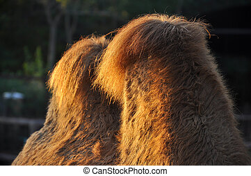 humps on camels - These humps help camels survive for weeks...