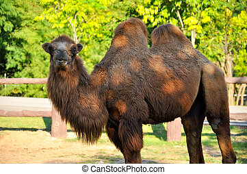Bactrian camels are extremely adept at withstanding wide...