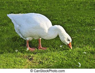 White goose - White free run goose feeding on green grass on...