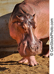 Hippopotamuses love water, which is why the Greeks named...