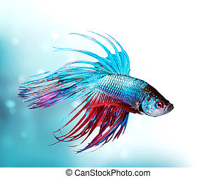 Colorful Betta Fish closeup. Dragon Fish. Aquarium