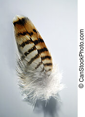 Hawk Feather - Upper tail covert from Buteo jamaicensis...