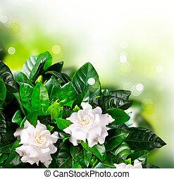 Gardenia, flores, jazmín