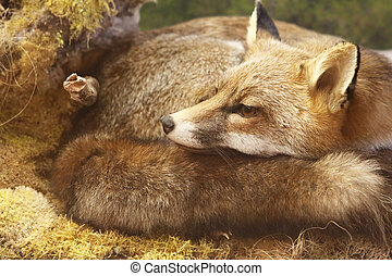 fox in forest - legendary creature, red fox resting...