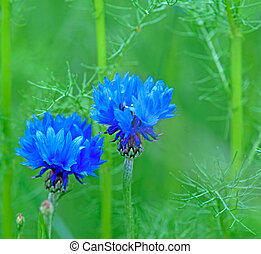 cornflowers - Close up of cornflowers on green field