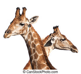 Giraffe heads - Isolated giraffe heads taken in the Etosha...