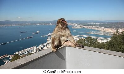 Gibraltar monkey on top of the rock