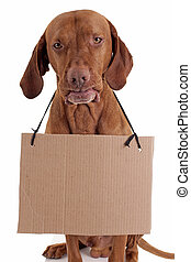 dog with cardboard sign - funny gold color pointer dog with...