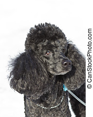 black poodle walking on snow - homemade black poodle walking...