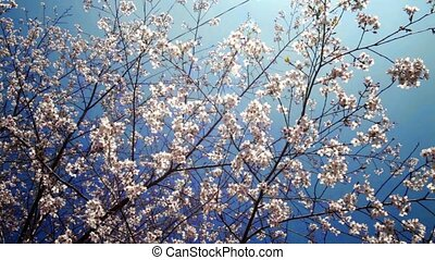 Wild Himalayan Cherry for adv or others purpose use