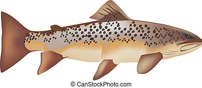 rainbow trout - trout fish