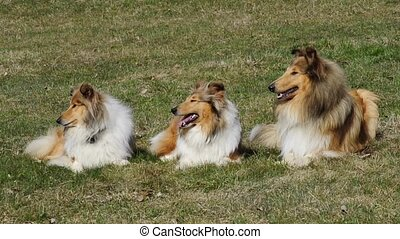 Collie dogs - Collie dog a group of three dogs