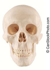 skull  - A human skull