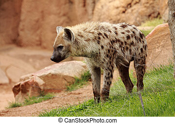 hyena - picture of and african spotted hyena