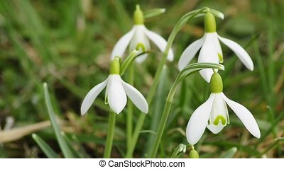 Snowdrops in wind