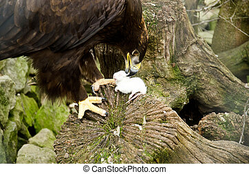 Aquila nipalensis - Steppe eagle is eating a mouse