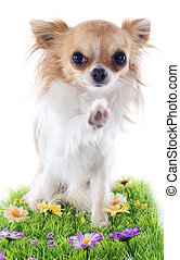 hello of chihuahua - chihuahua say hello with his paw